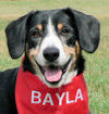 picture of Entlebucher Bayla