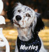 Mutley our field English Setter