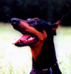 Raven our first Doberman