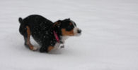 Jaylah running in the snow at 10 wks old